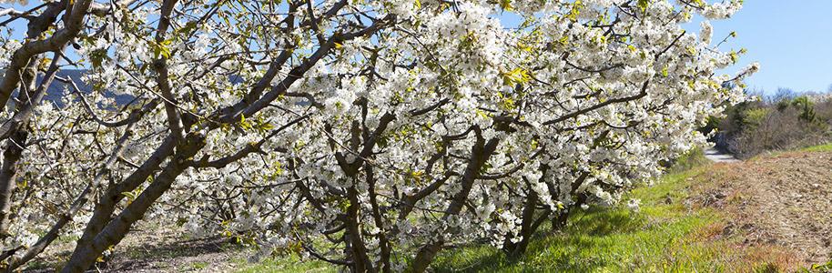 Floración de cerezos