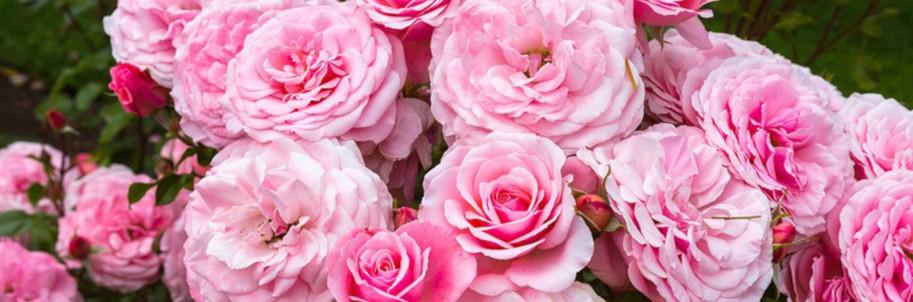 Rosas de Damasco
