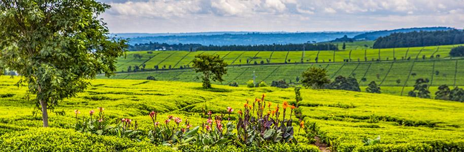 Plantaciones de té de Kericho